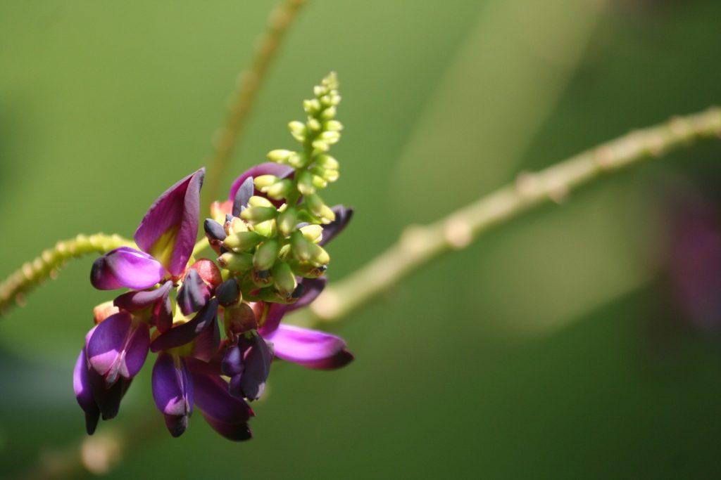 la fleur de kudzu aide à l'arrêt du tabac et sevrage